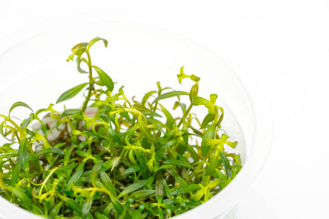 Shop Ludwigia Crystal Aquatic Plants - Glass Aqua