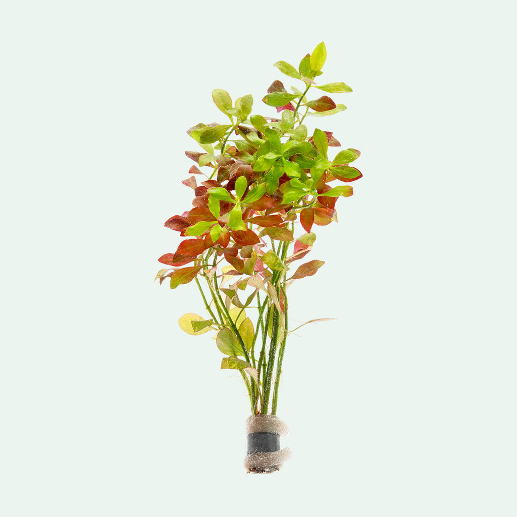 Shop Ludwigia Repens Aquatic Plants - Glass Aqua