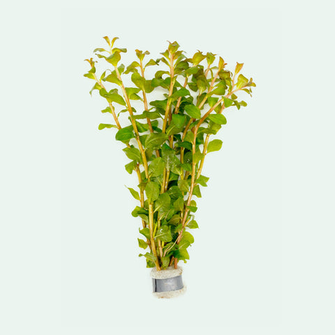 Shop Ludwigia Senegalensis Aquatic Plants - Glass Aqua