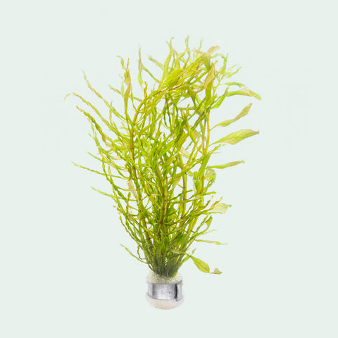 Shop Ludwigia Inclinata Twister Aquatic Plants - Glass Aqua