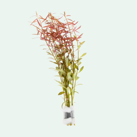 Shop Ludwigia Arcuata Aquatic Plants - Glass Aqua