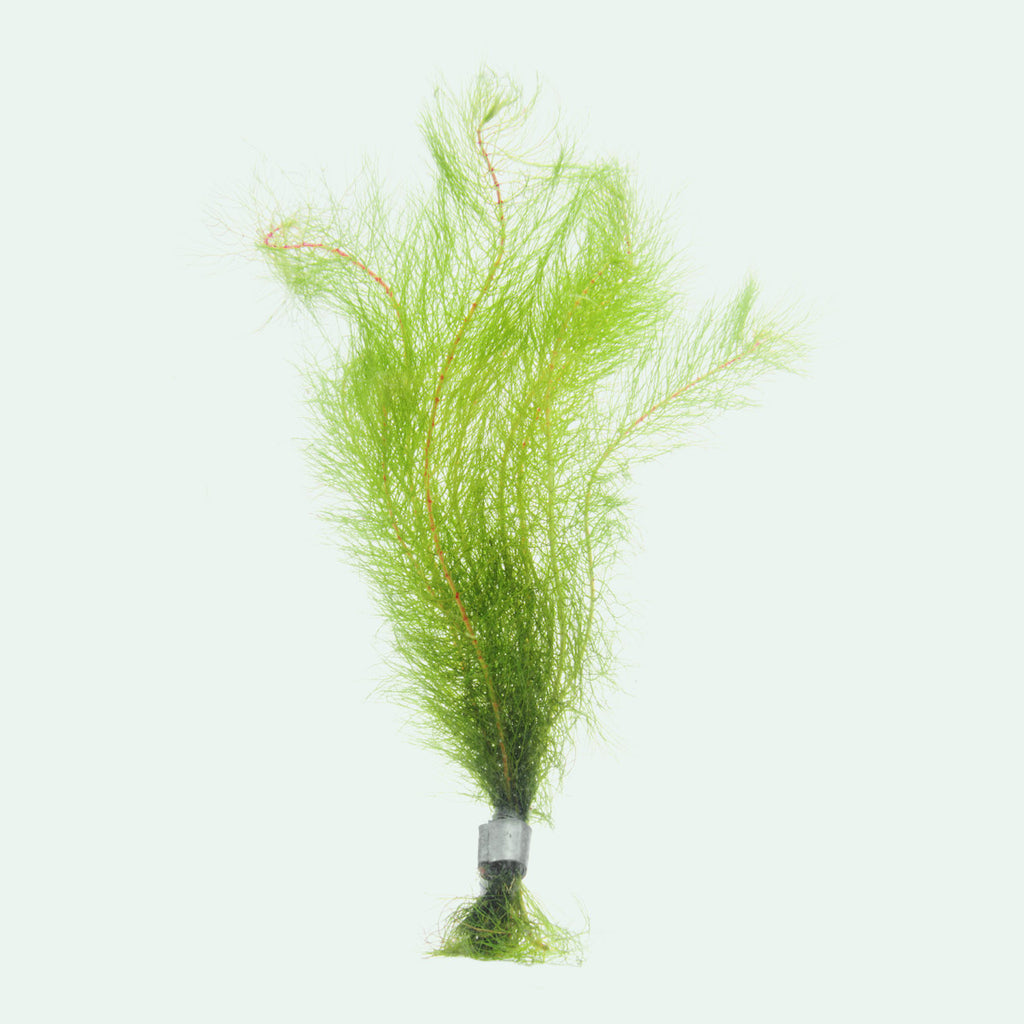 Shop Myriophyllum Tetrandrum Aquatic Plants - Glass Aqua