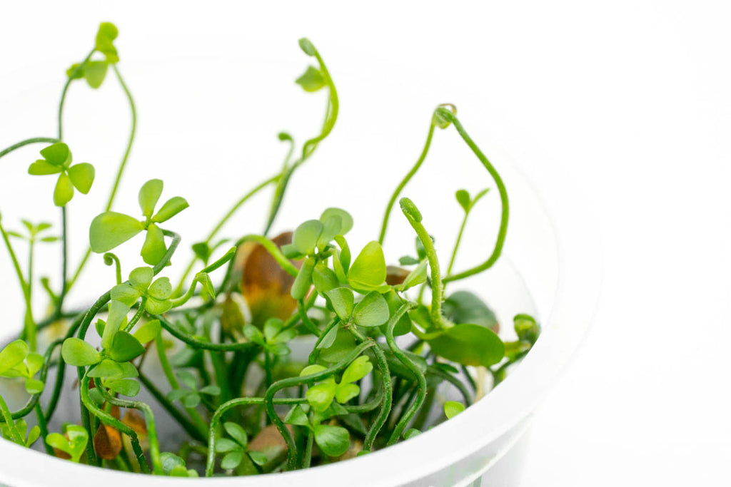 Shop Marsilea Angustifolia Aquatic Plants - Glass Aqua