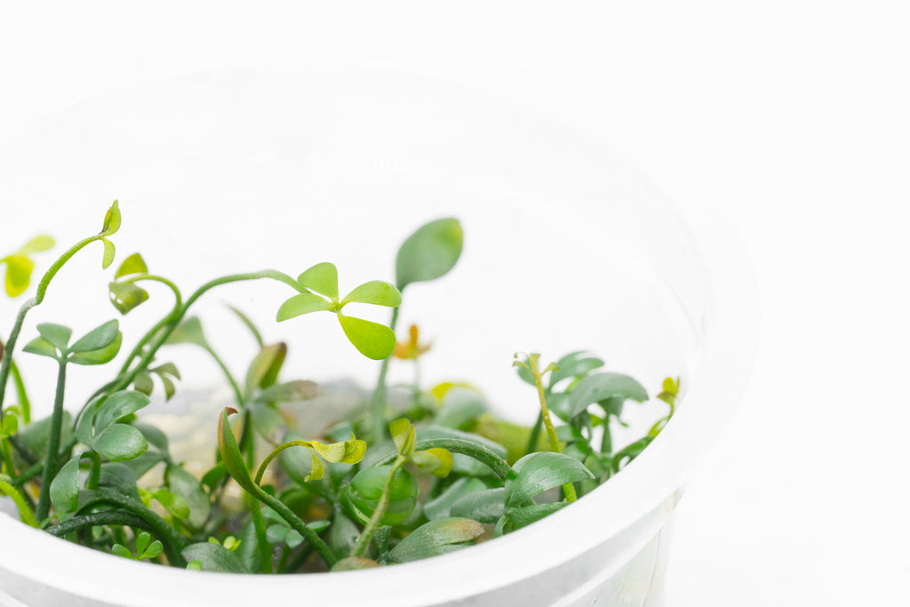Shop Marsilea Hirsuta Tissue Culture Aquatic Plants - Glass Aqua