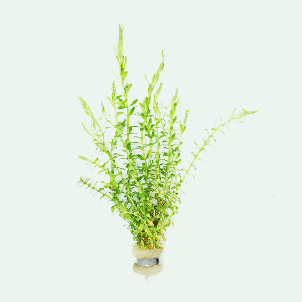 Shop Mayaca Sellowiniana Aquatic Plants - Glass Aqua
