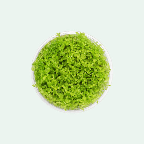 Shop Micranthemum Micranthemoides Aquatic Plants - Glass Aqua