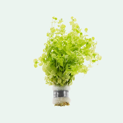 Shop Micranthemum Umbrosum Aquatic Plants - Glass Aqua