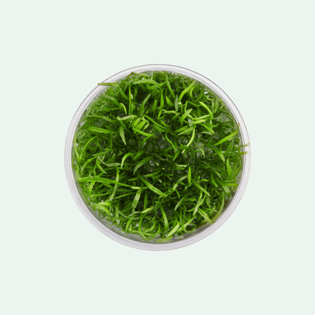 Shop Lilaeopsis Novaezelandiae Aquatic Plants - Glass Aqua