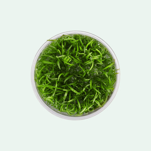 Shop Lilaeopsis Novaezelandiae Tissue Culture by UNS Aquatic Plants - Glass Aqua