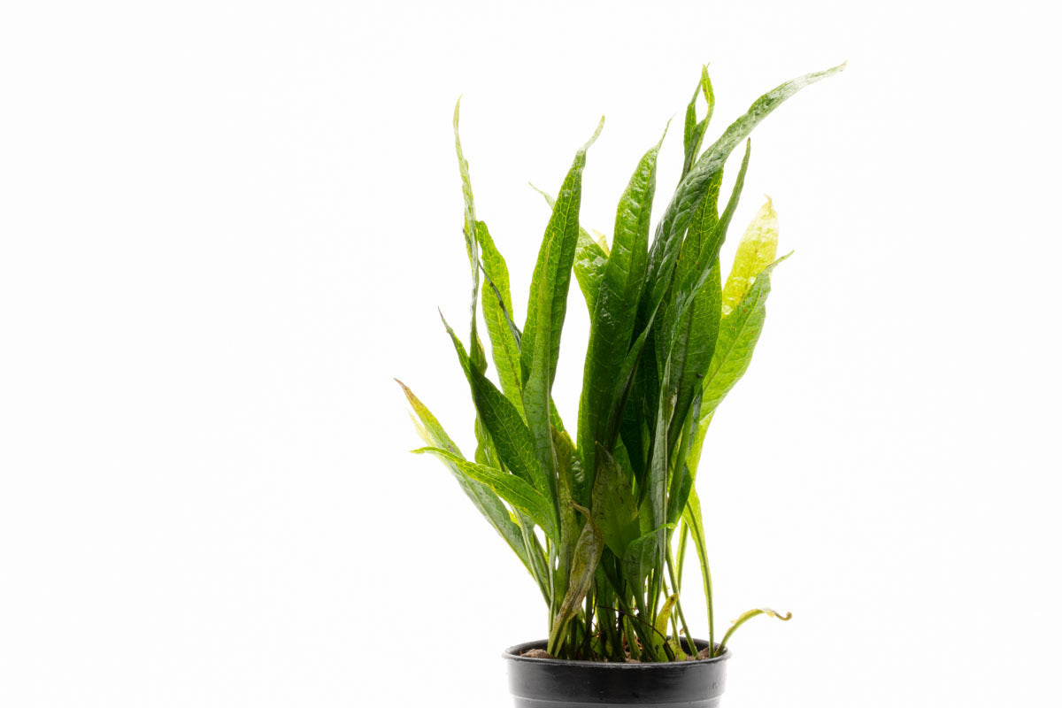 Shop Microsorum Pteropus Black Forest Aquatic Plants - Glass Aqua