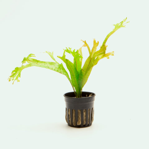Java Fern Thors Hammer Easy Beginner Aquarium Terrarium Fern Plant