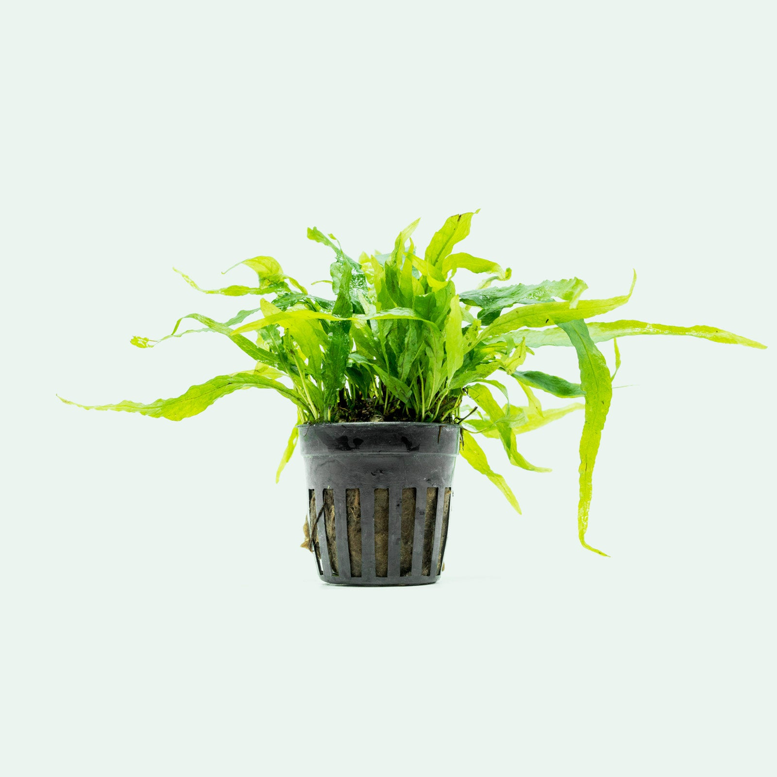 Shop Microsorum Pteropus Narrow Leaf Mini Aquatic Plants - Glass Aqua