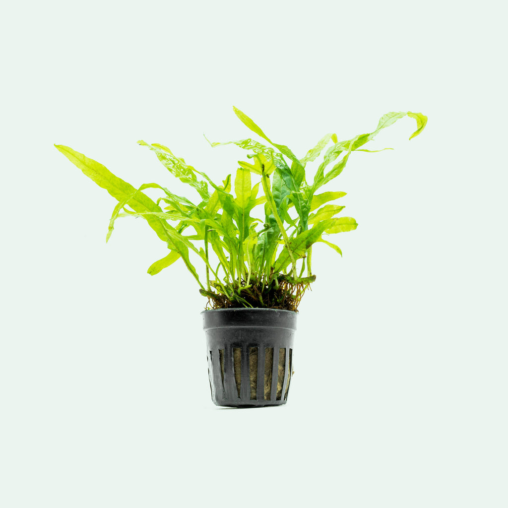 Shop Microsorum Pteropus Trident Aquatic Plants - Glass Aqua