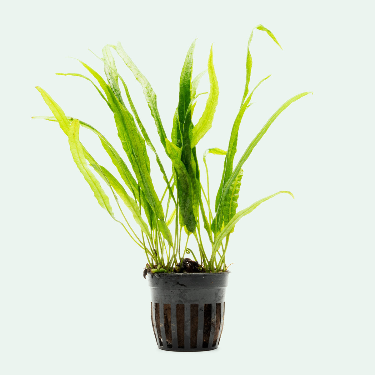 Shop Microsorum Pteropus Needle Leaf Aquatic Plants - Glass Aqua