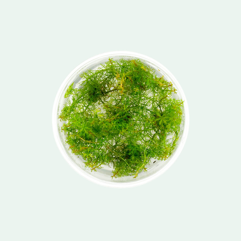 Shop Myriophyllum Mattogrossense Aquatic Plants - Glass Aqua