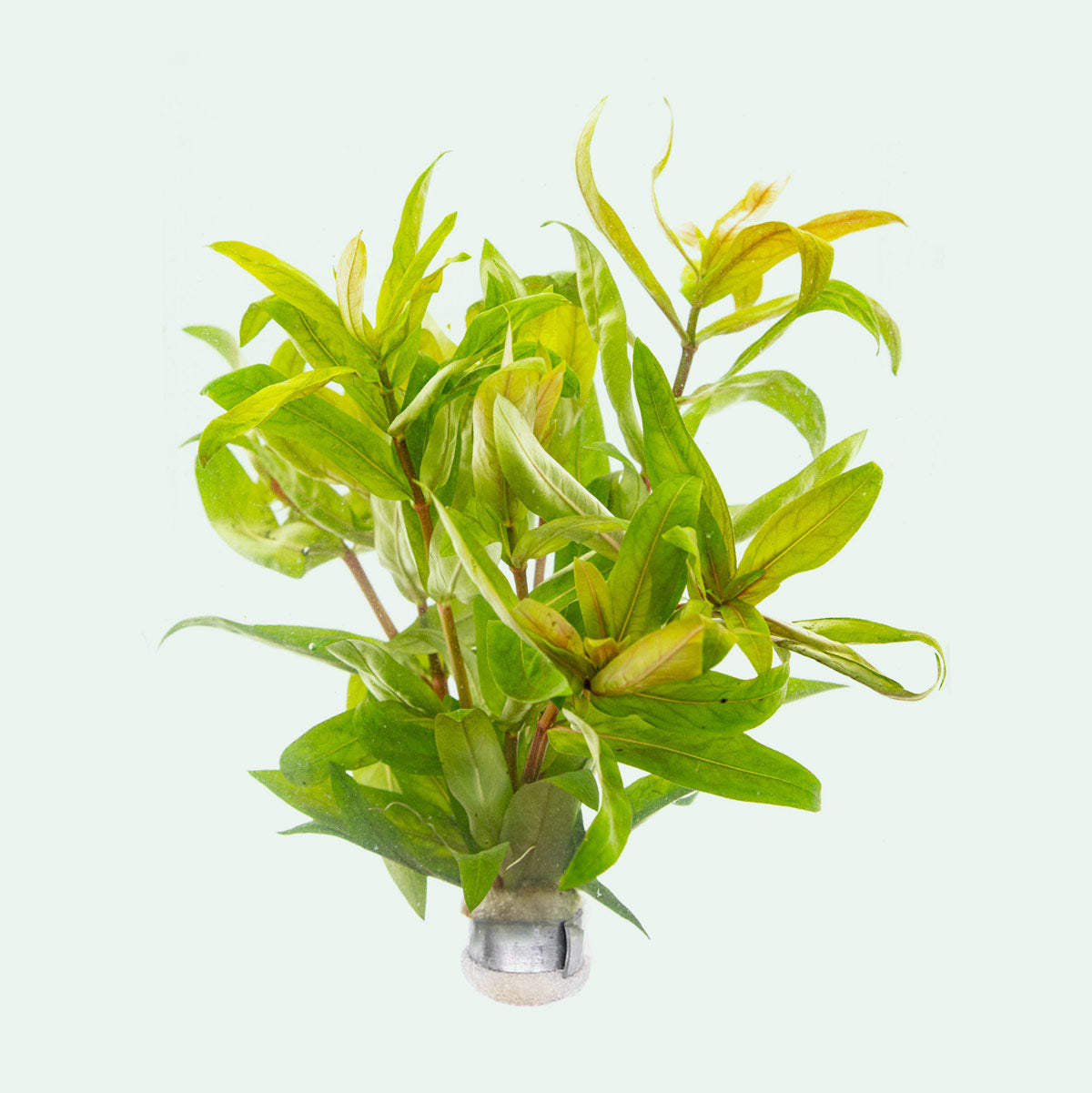 Shop Nesaea Crassicaulis Aquatic Plants - Glass Aqua