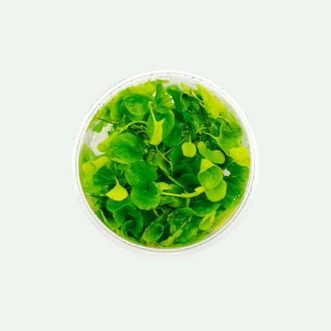 Shop Nymphoides Hydrophylla Taiwan Aquatic Plants - Glass Aqua