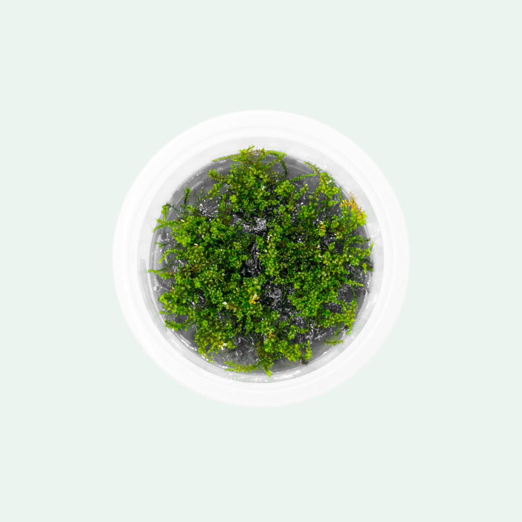 Shop Pearl Moss Aquatic Plants - Glass Aqua