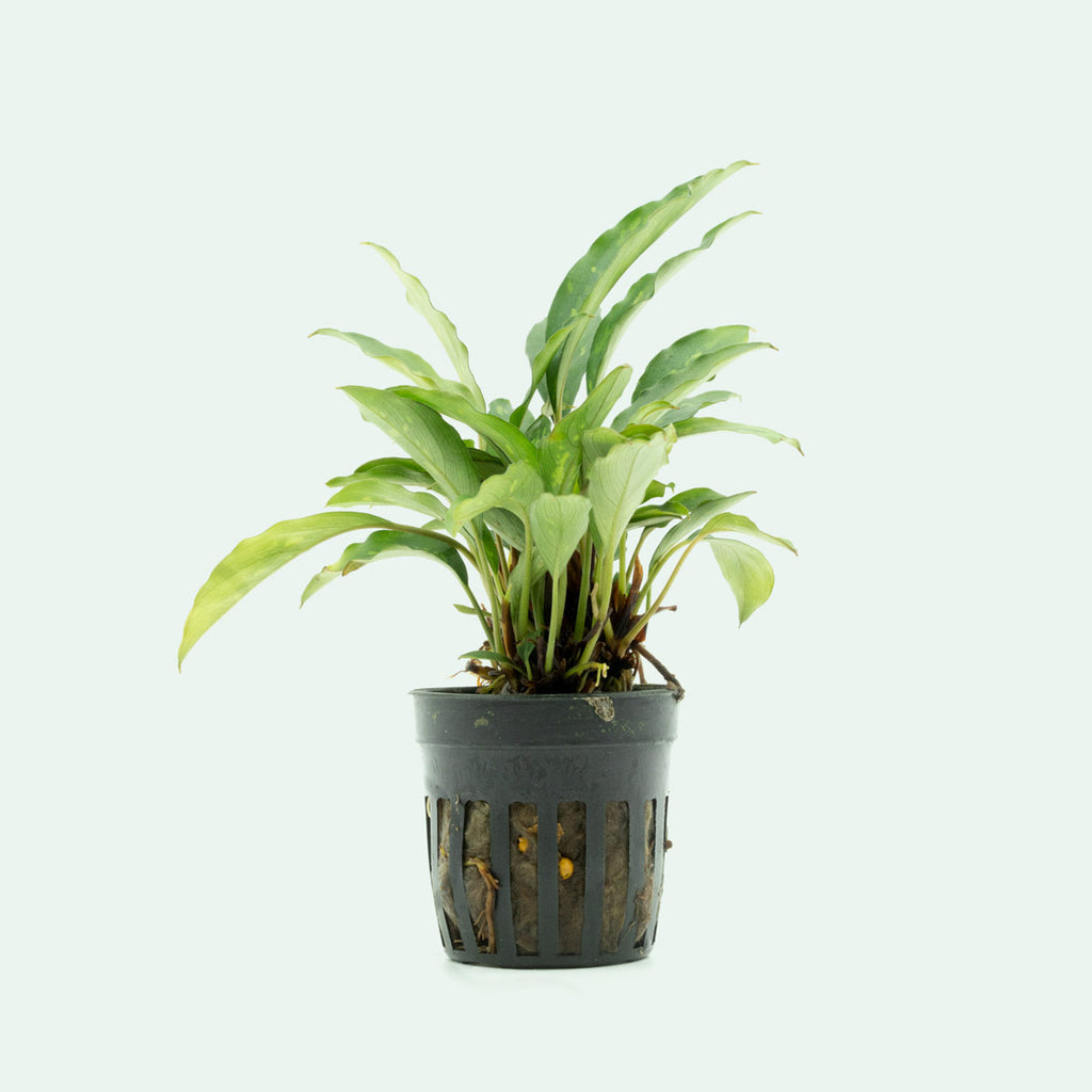 Shop Piptospatha Ridleyi Aquatic Plants - Glass Aqua