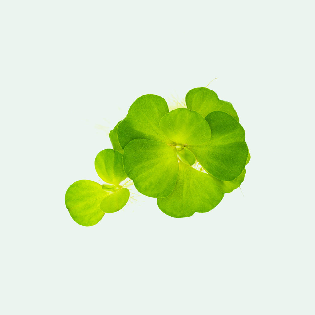 Shop Pistia Stratiotes Aquatic Plants - Glass Aqua