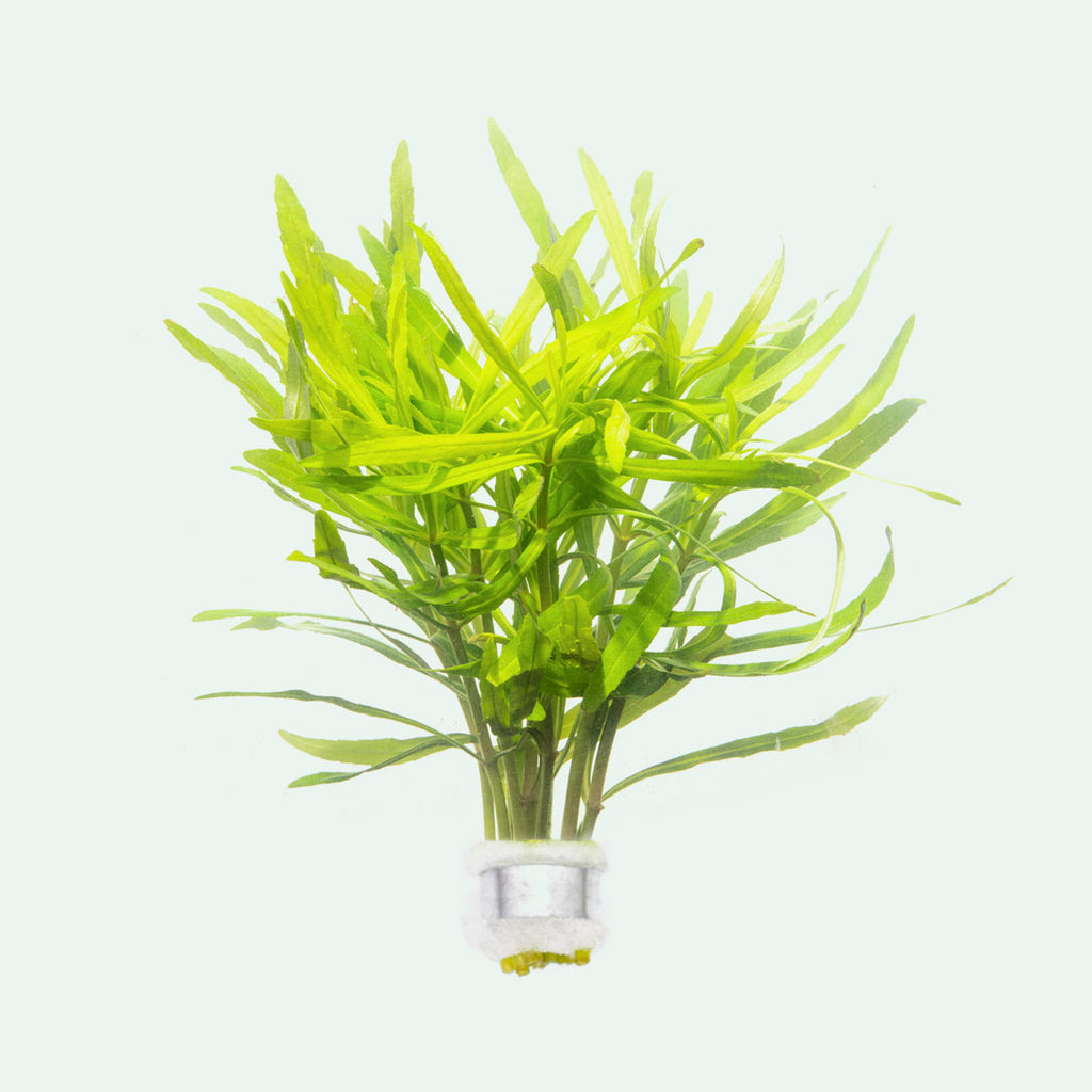 Shop Pogostemon Eusteralis Stellata Octopus Aquatic Plants - Glass Aqua