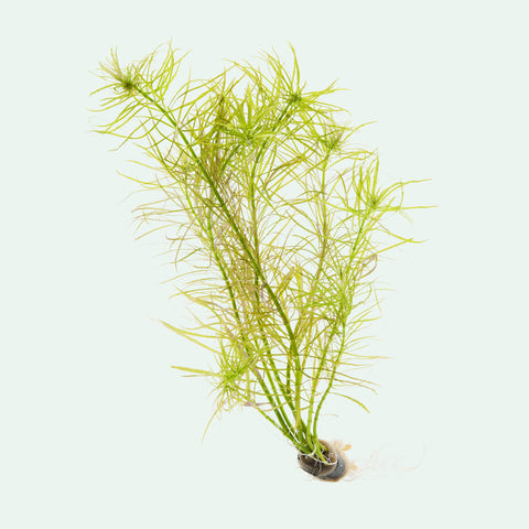 Shop Pogostemon Stellata Aquatic Plants - Glass Aqua