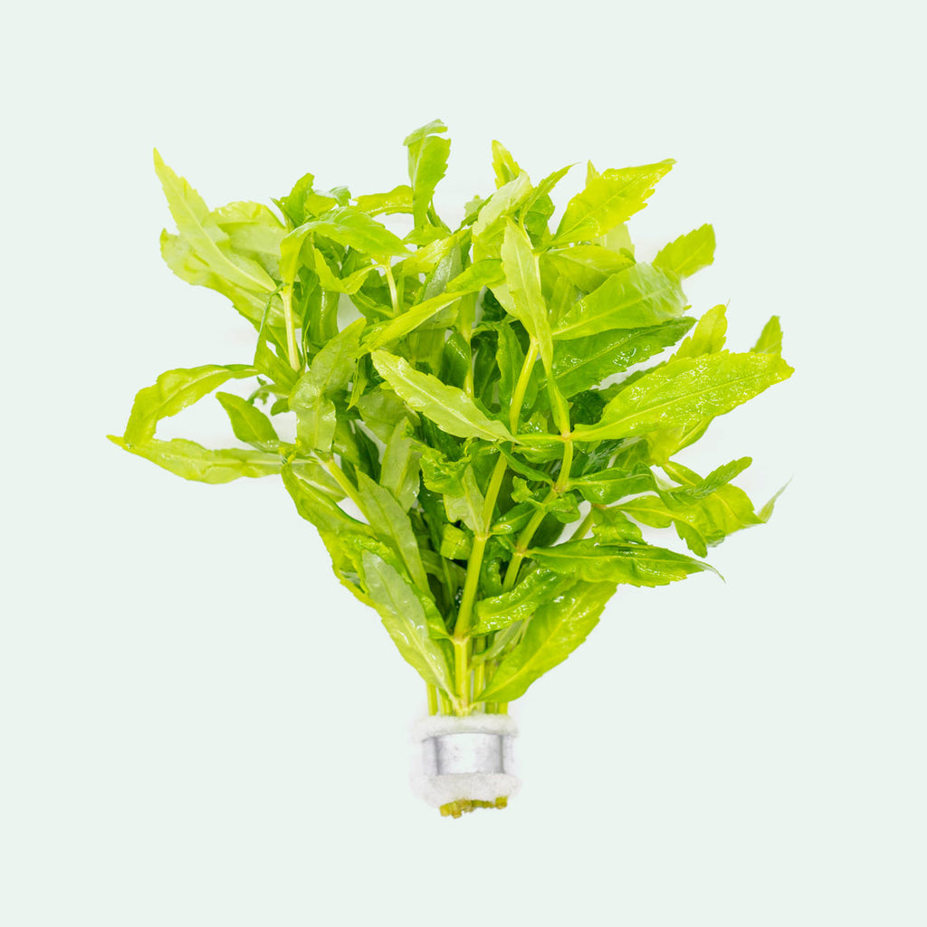 Shop Pogostemon Sampsonii Aquatic Plants - Glass Aqua