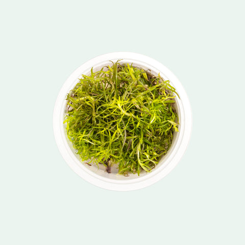 Shop Pogostemon Stellatus Aquatic Plants - Glass Aqua