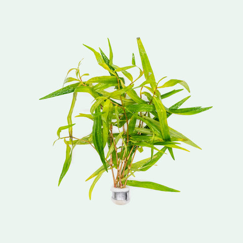 Shop Polygonum Sao Paulo Aquatic Plants - Glass Aqua