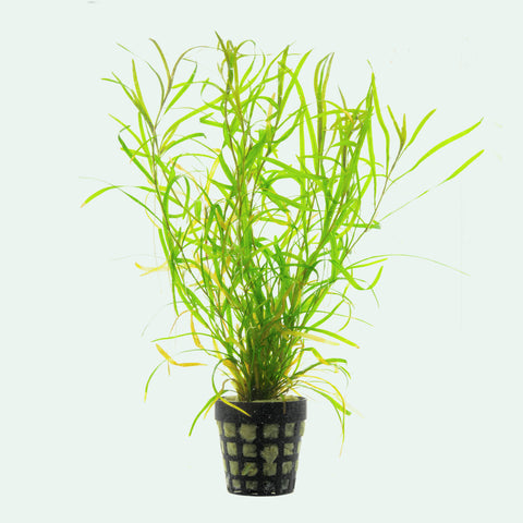 Shop Potamogeton Gayi Aquatic Plants - Glass Aqua