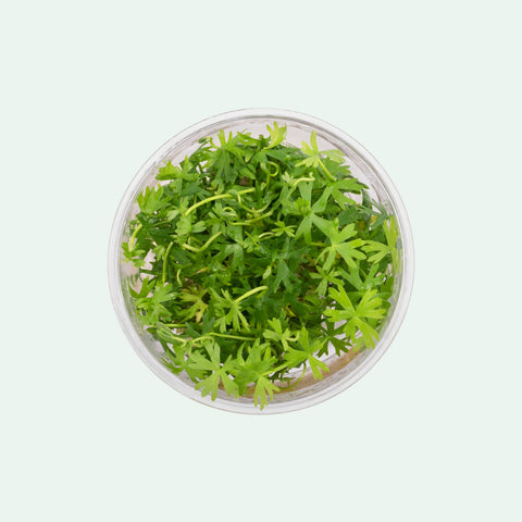 Shop Ranunculus Inundatus Tissue Culture by UNS Aquatic Plants - Glass Aqua