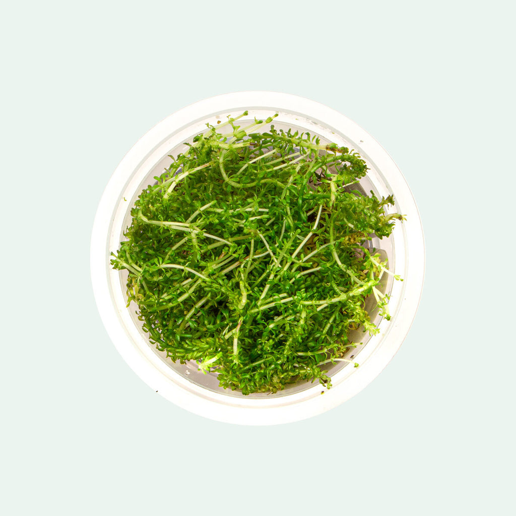 Shop Rotala Bangladesh Aquatic Plants - Glass Aqua