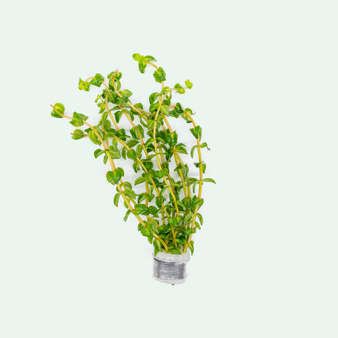 Shop Rotala Bonsai Aquatic Plants - Glass Aqua
