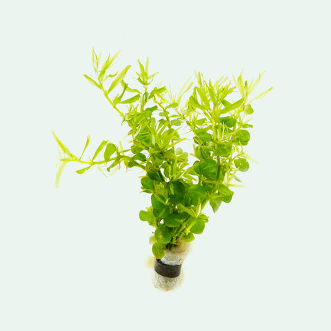 Shop Rotala Green Aquatic Plants - Glass Aqua