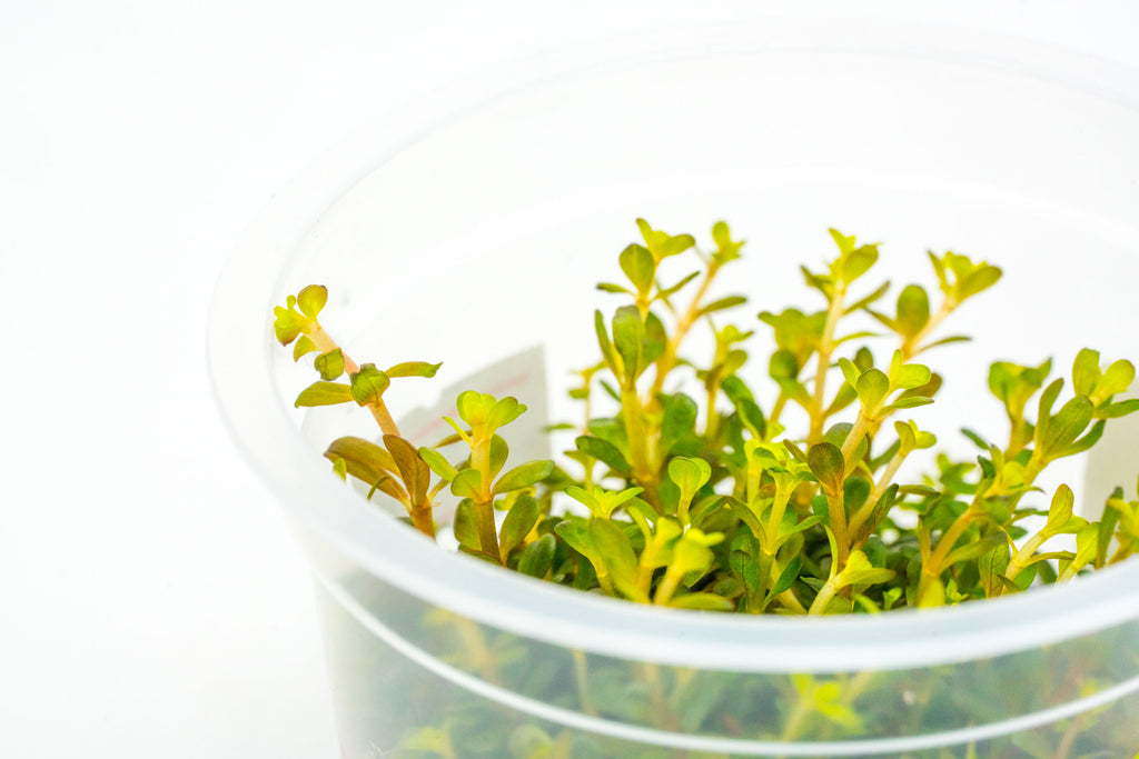Shop Rotala H'Ra Aquatic Plants - Glass Aqua