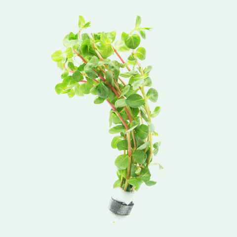 Shop Rotala Indica Aquatic Plants - Glass Aqua