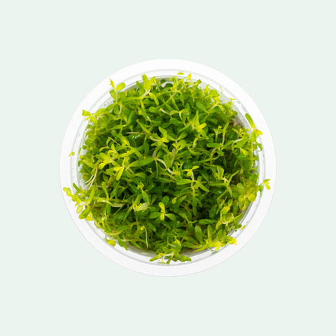 Shop Rotala Macrandra Pink Aquatic Plants - Glass Aqua