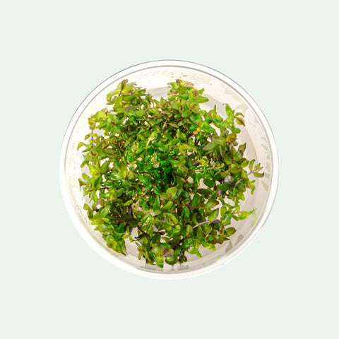 Shop Rotala Macrandra Tissue Culture Aquatic Plants - Glass Aqua