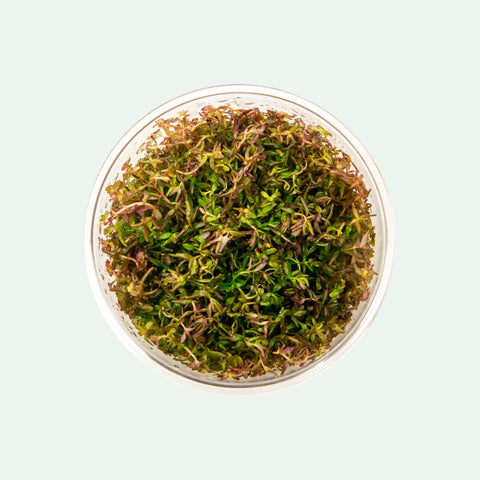 Shop Rotala Macrandra Mini Tissue Culture Aquatic Plants - Glass Aqua