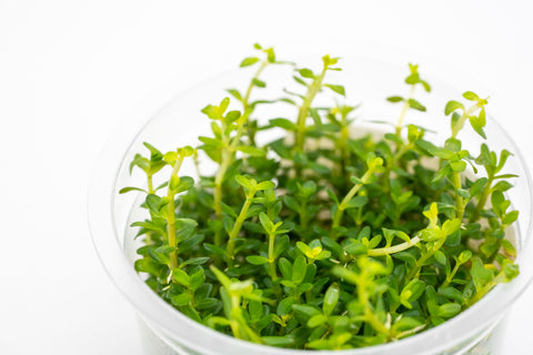 Shop Rotala Mexicana Tissue Culture Aquatic Plants - Glass Aqua