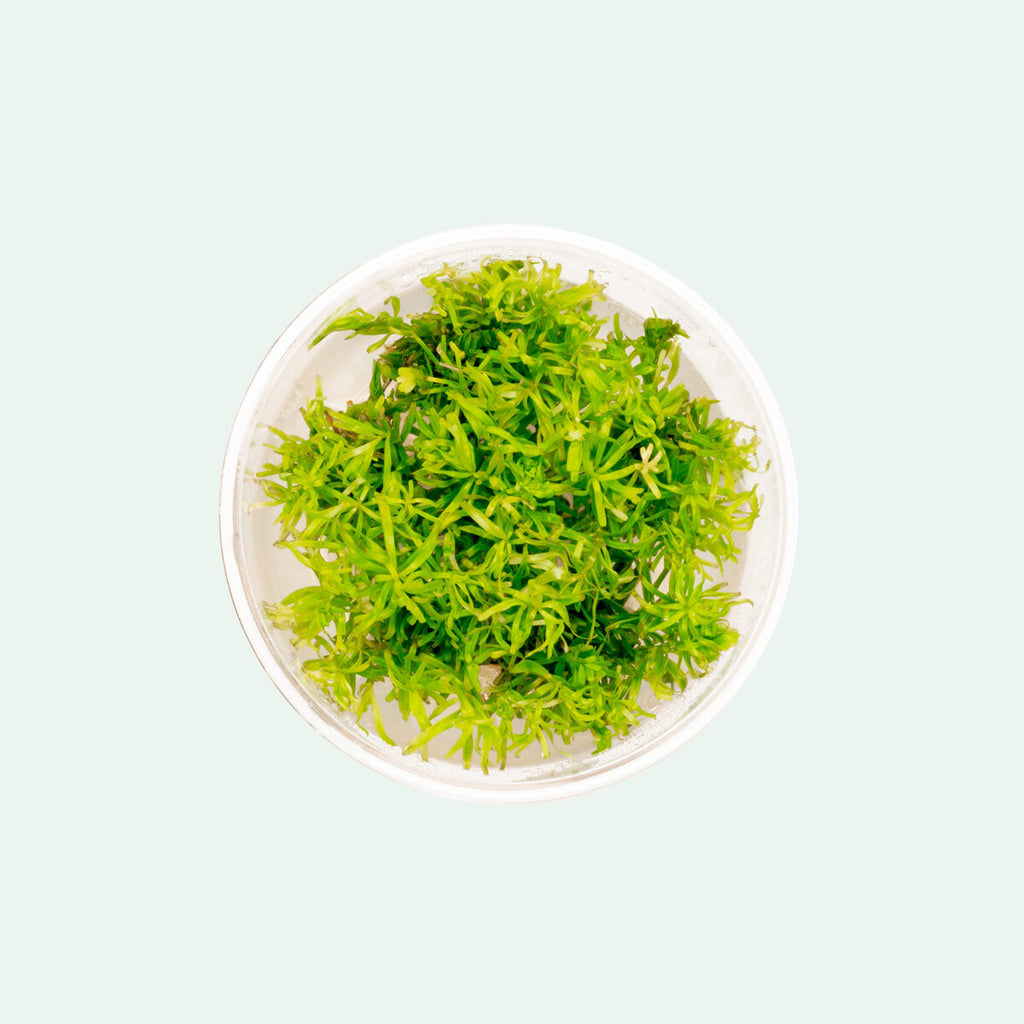 Rotala Nanjenshan Tissue Culture Live Aquatic Plant for Planted Tank
