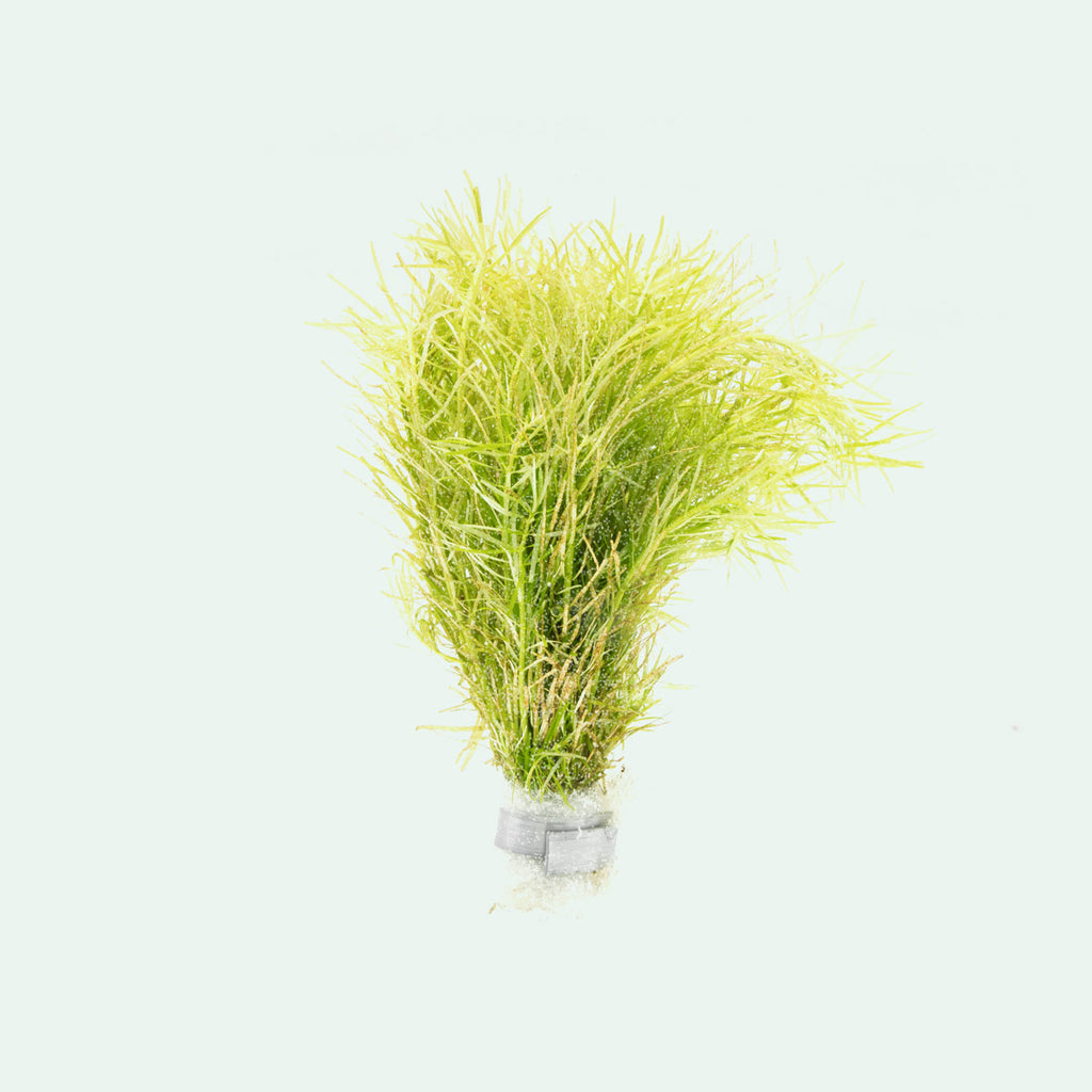Shop Rotala Nanjenshan Aquatic Plants - Glass Aqua