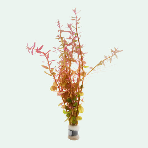 Shop Rotala Rotundifolia Aquatic Plants - Glass Aqua