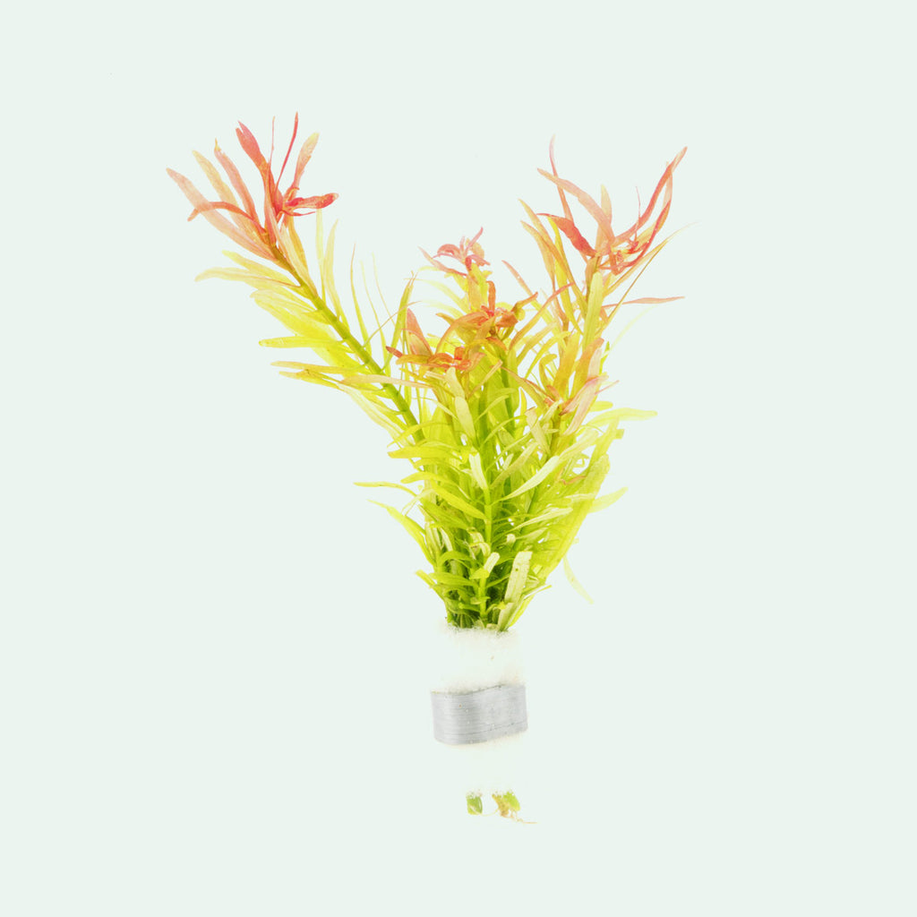 Shop Rotala Sunset (Small Leaf) Aquatic Plants - Glass Aqua