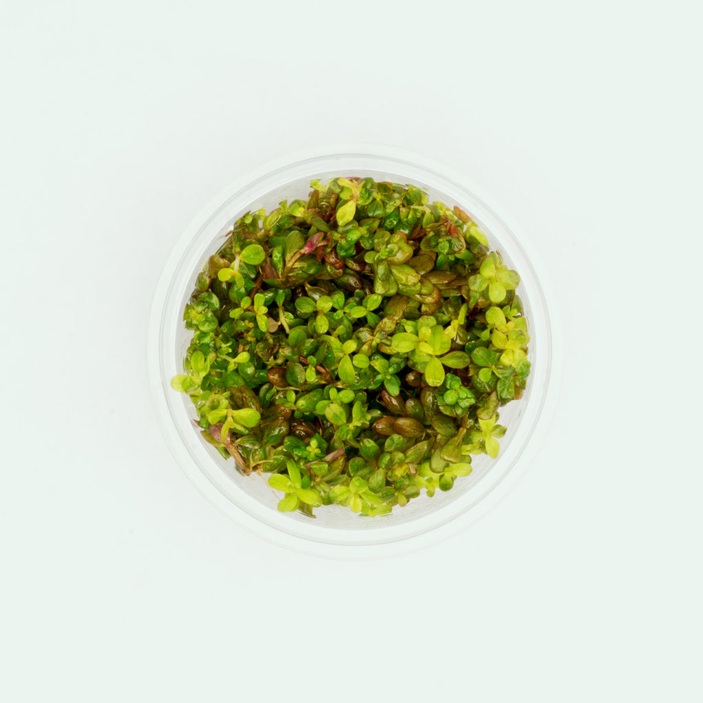 Shop Rotala Yao Yai Aquatic Plants - Glass Aqua