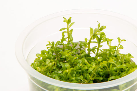 Shop Rotala Wayanad Aquatic Plants - Glass Aqua