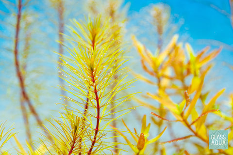 Shop Rotala Vietnam Aquatic Plants - Glass Aqua