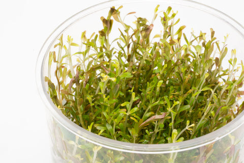 Shop Rotala H'Ra Tissue Culture Aquatic Plants - Glass Aqua