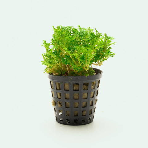 Selaginella Indonesia Club Moss Spike Moss Easy Terrarium Plant
