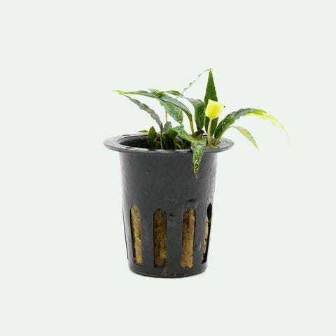 Shop Schismatoglottis Roseospatha Aquatic Plants - Glass Aqua